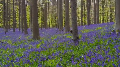 Hallerbos: Belgium's Enchanted Forest